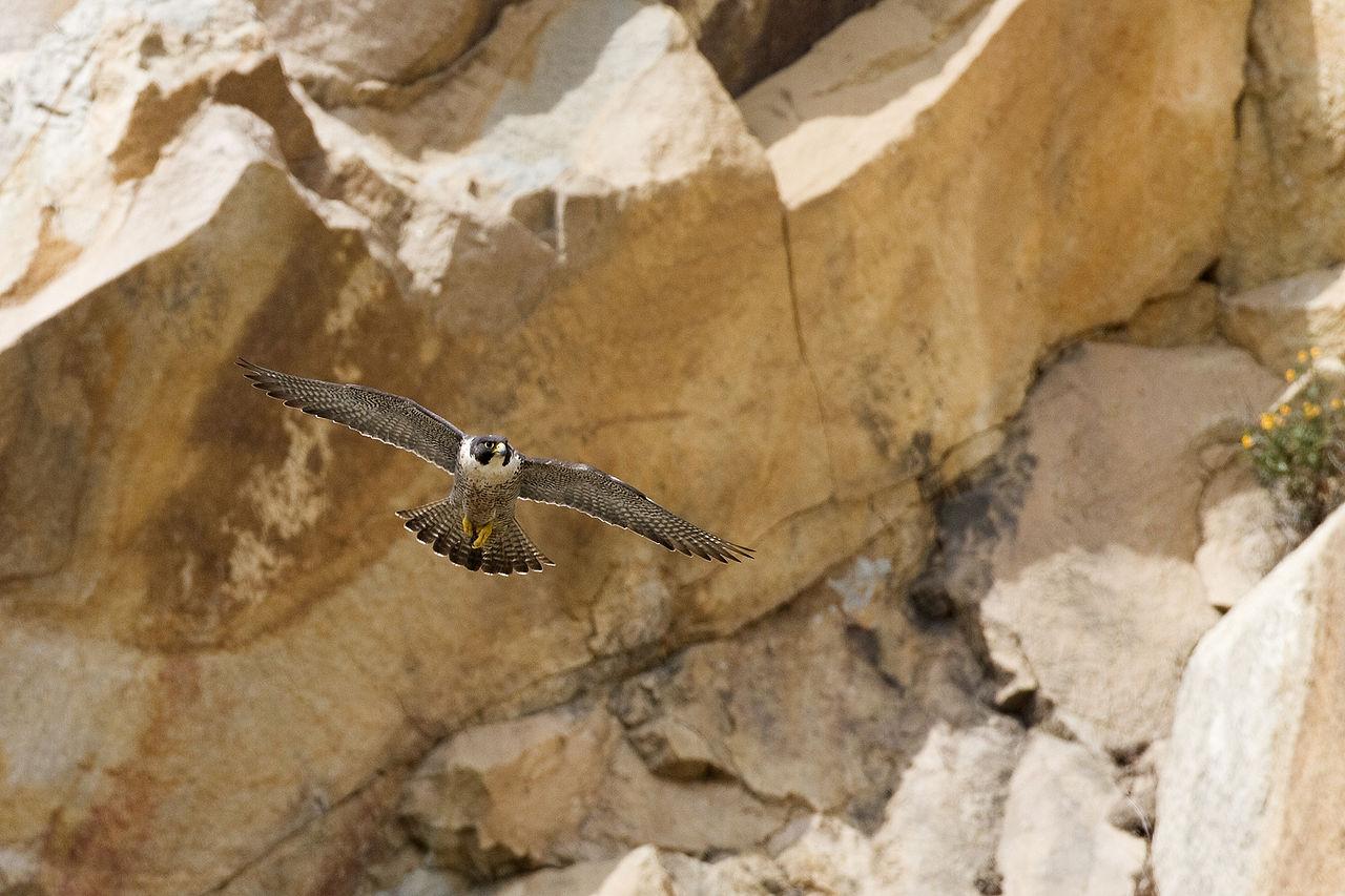 1280px-Peregrine_Falcon_in_flight